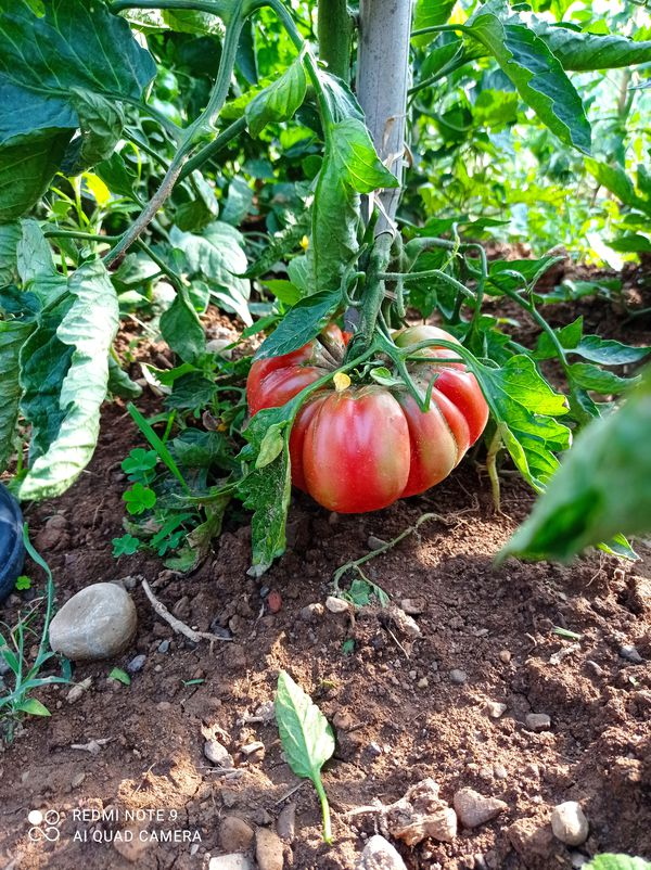Primi pomodori